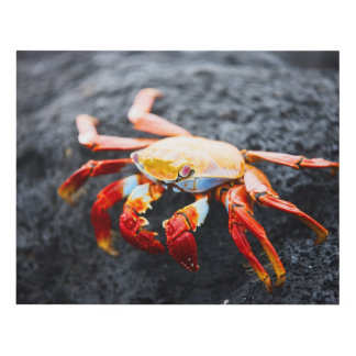 Sally lightfoot crab on a black lava rock panel wall art
