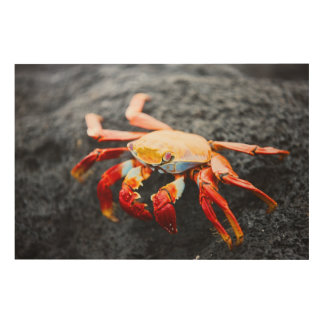 Sally lightfoot crab on a black lava rock wood print
