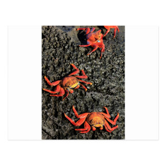 Sally lightfoot crabs on volcanic rocks postcards