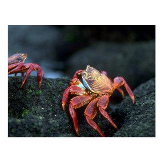 Sally Lightfoot Crabs Postcard