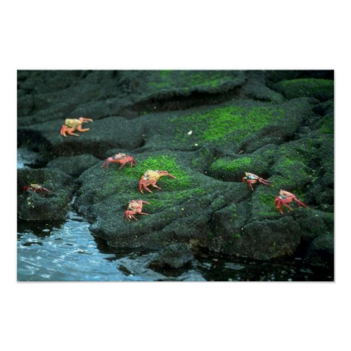 Sally Lightfoot Crabs Posters