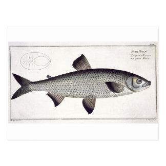 Salmo Maraena placa de color salmón XXVII de Ic Tarjetas Postales
