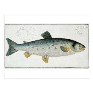 (Salmo Salar) placa de color salmón XX de Postales