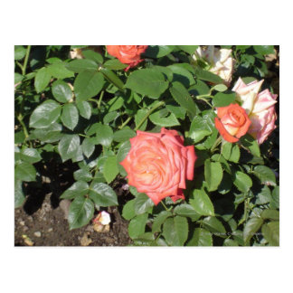 Salmon Colored Rose Postcard