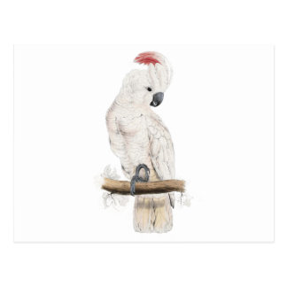 Salmon-Crested Cockatoo by Edward Lear Postcard