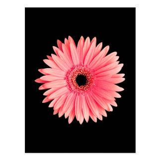 Salmon Pink Daisy on Black - Customized Daisies Postcard