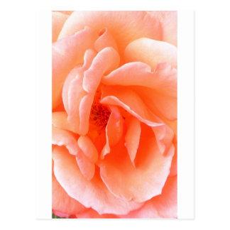 Salmon Rose Post Card