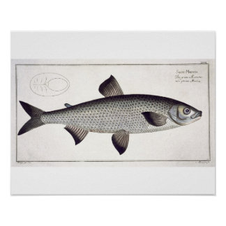 Salmon (Salmo Maraena) plate XXVII from 'Ichthyolo Print