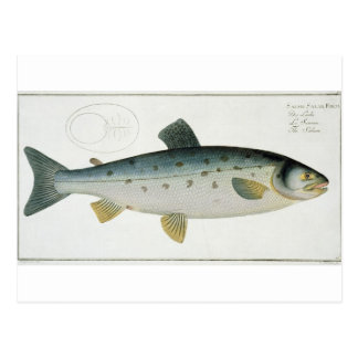 Salmon (Salmo Salar) plate XX from 'Ichthyologie, Postcard