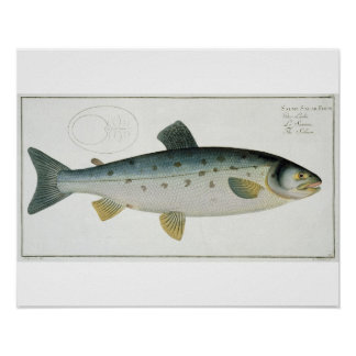 Salmon (Salmo Salar) plate XX from 'Ichthyologie, Poster