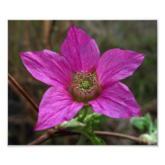 Salmonberry in Bloom Photo Print