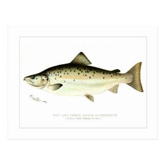 Salmones sin mar masculinos o Quaniche Tarjeta Postal