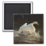 Salpicar el cisne iman