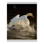 Salpicar el cisne postales