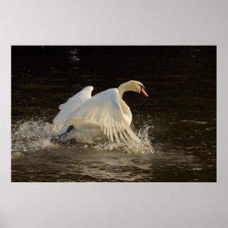 Salpicar la impresión del cisne póster