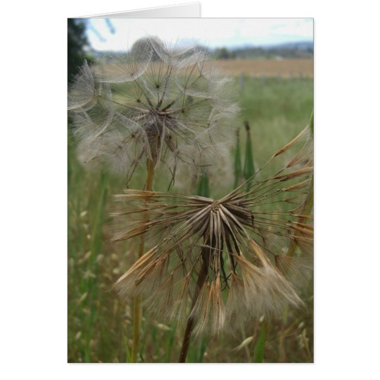 Salsify Seeds in Field Cards