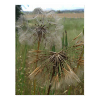 Salsify Seeds in Field Notes Card