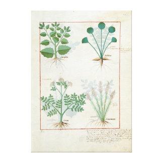 Salt Bush and Anthora Absinthium and Cardamom Canvas Print