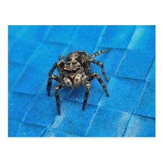 Salticid Black & White Jumping Spider Postcard