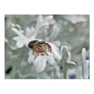 Salticid Jumping Spider on Dusty Miller Postcard