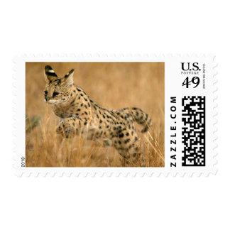 Salto del Serval (Serval de Leptailurus) Franqueo