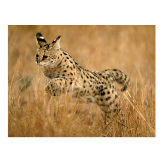 Salto del Serval (Serval de Leptailurus) Tarjeta Postal