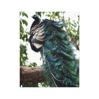 Saludo del pavo real lona envuelta para galerías