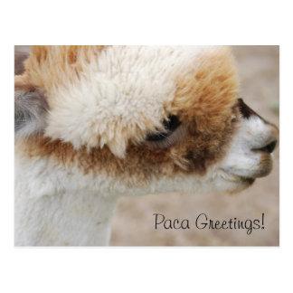¡Saludos de la alpaca! Tarjetas Postales