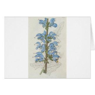 Salvia Barrelieri Card