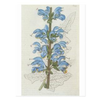 Salvia Barrelieri Postcard