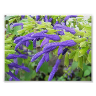 Salvia Mexicana en lluvia Impresiones