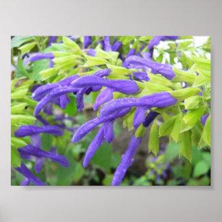 Salvia Mexicana in rain Print