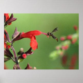 Salvia & Native Bee Poster