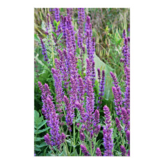 Salvia púrpura Rumania de los campos de flor salva Poster