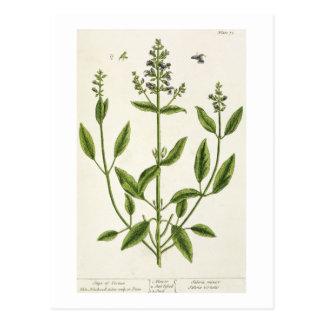 """Salviam """"de un herbario curioso"""", 1782 (color engr postales"""