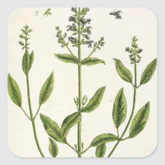 Salviam from 'A Curious Herbal', 1782 (colour engr Square Sticker