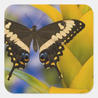 Sammamish, mariposa tropical 11 de Washington Pegatina Cuadrada