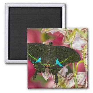 Sammamish, mariposa tropical 14 de Washington Imán De Frigorífico