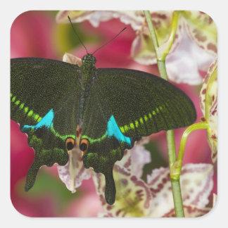 Sammamish, mariposa tropical 14 de Washington Pegatina Cuadrada