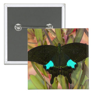 Sammamish, mariposa tropical 18 de Washington Pin Cuadrada 5 Cm