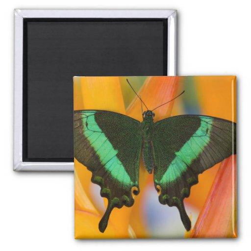 Sammamish, mariposa tropical 19 de Washington Imán Cuadrado