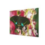 Sammamish, mariposa tropical 19 de Washington Lienzo Envuelto Para Galerías