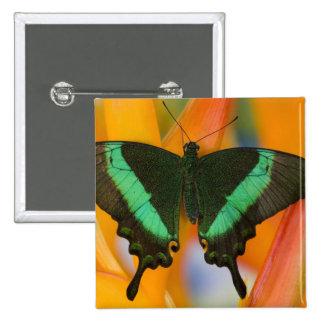 Sammamish, mariposa tropical 19 de Washington Pin Cuadrada 5 Cm