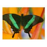 Sammamish, mariposa tropical 19 de Washington Postales
