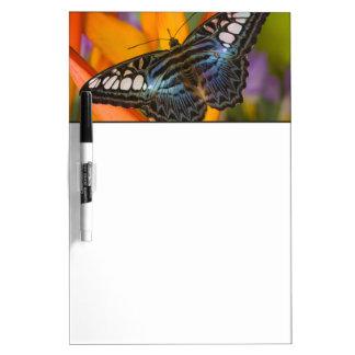Sammamish, mariposa tropical 24 de Washington Tableros Blancos