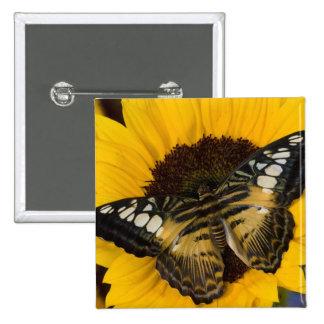 Sammamish, mariposa tropical 27 de Washington Pin Cuadrada 5 Cm