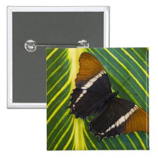 Sammamish, mariposa tropical 28 de Washington Pin Cuadrada 5 Cm