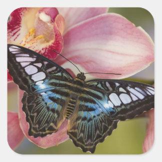 Sammamish, mariposa tropical 2 de Washington Pegatina Cuadrada