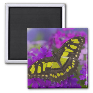 Sammamish, mariposa tropical 31 de Washington Imán Cuadrado