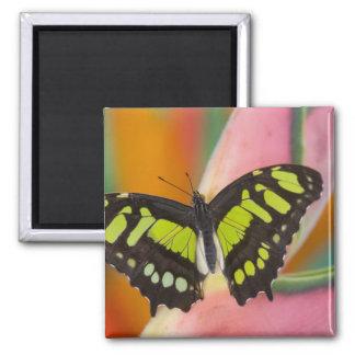 Sammamish, mariposa tropical 32 de Washington Imán Cuadrado